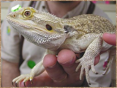 [Image: bearded_dragon_409x307.jpg]
